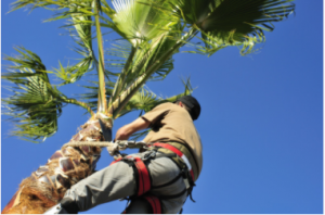 #1 Palm Tree Removal Adelaide